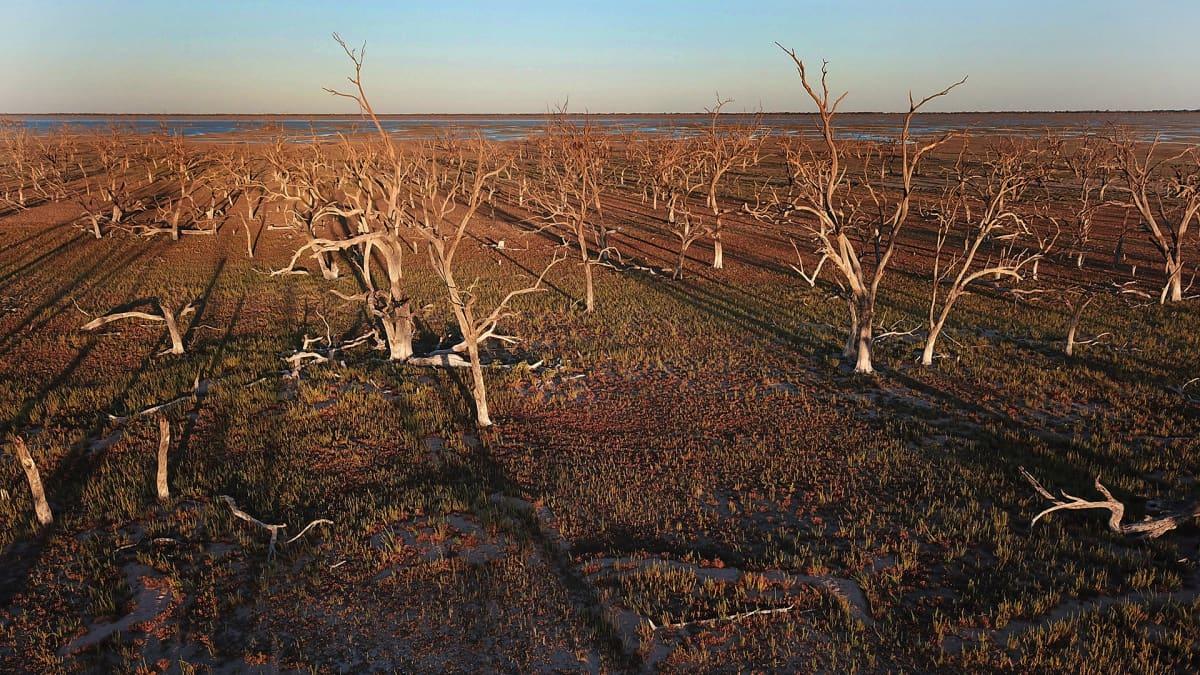Kuivuuden kärsimä järvi Australia, rannalla kuolleita puita.