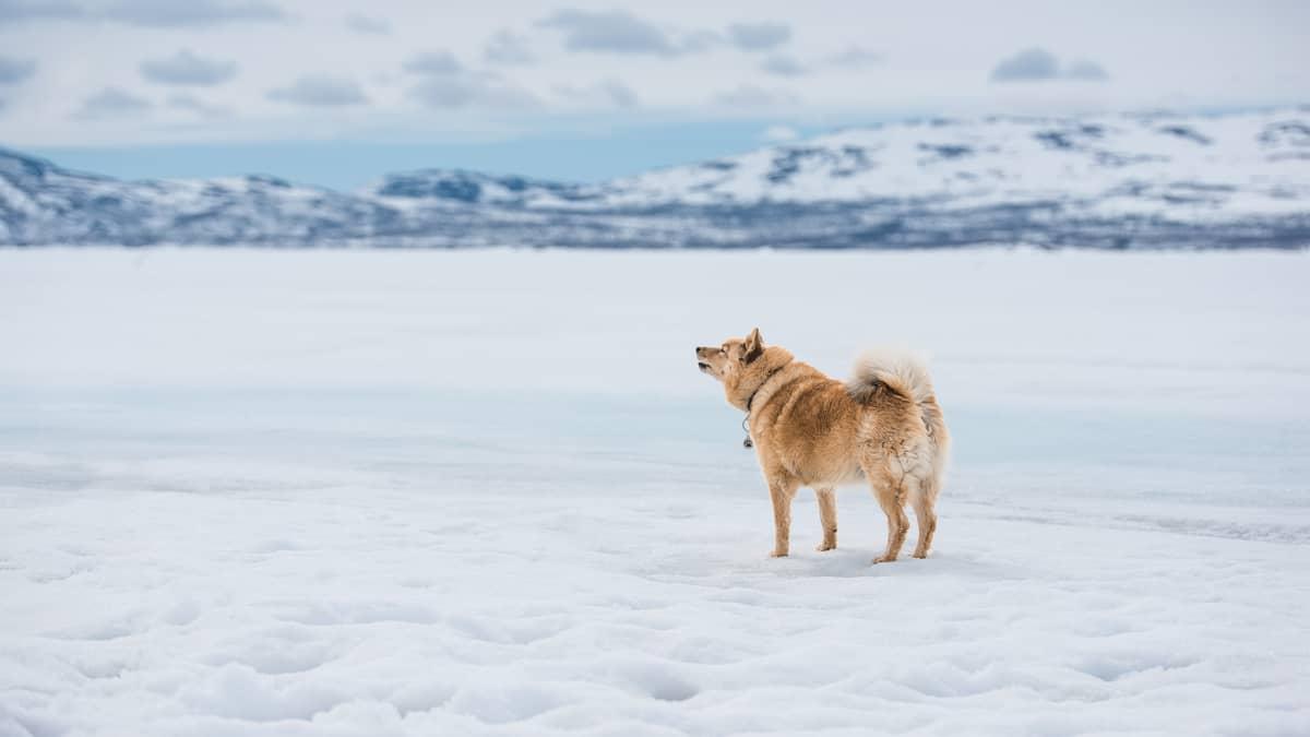 Suomenpystykorva talvisessa maisemassa