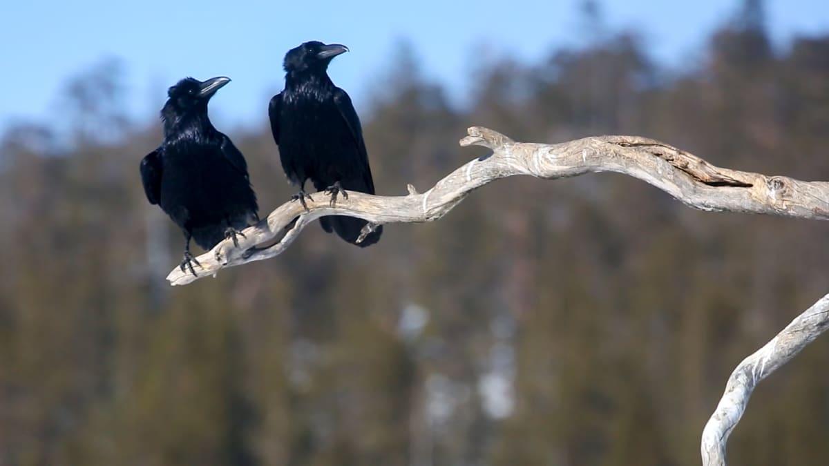 Korpit viihdyttävät kotkan odottajaa ruokintapaikalla.