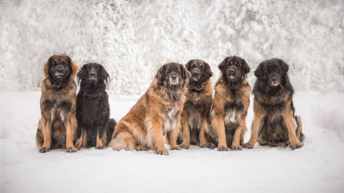 Joukko leonbergin koiria