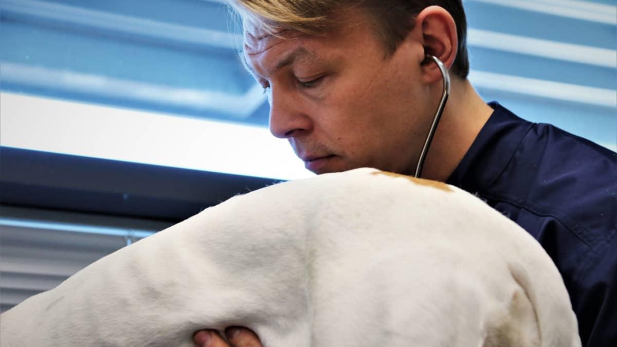 Eläinlääkäri Jaakko Väyrynen tutkii koiran vatsaa.