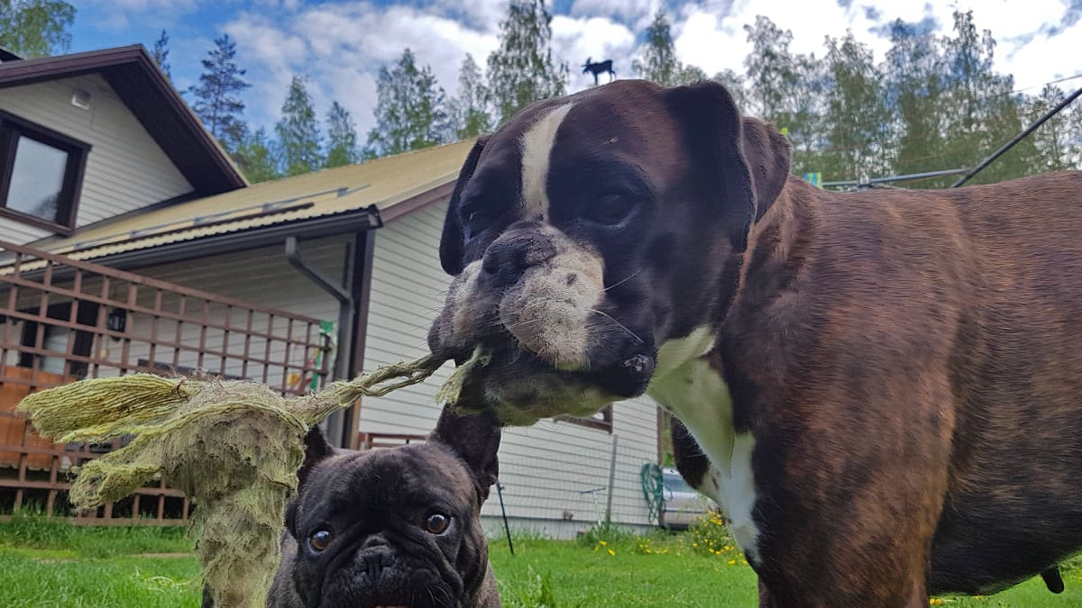 Ranskanbuldoggi ja Boxeri