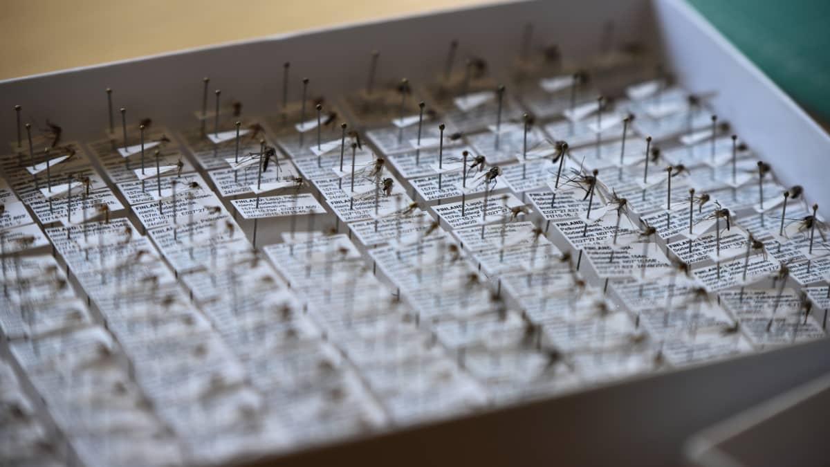 Kuolleita, tunnistettuja hyttysiä.