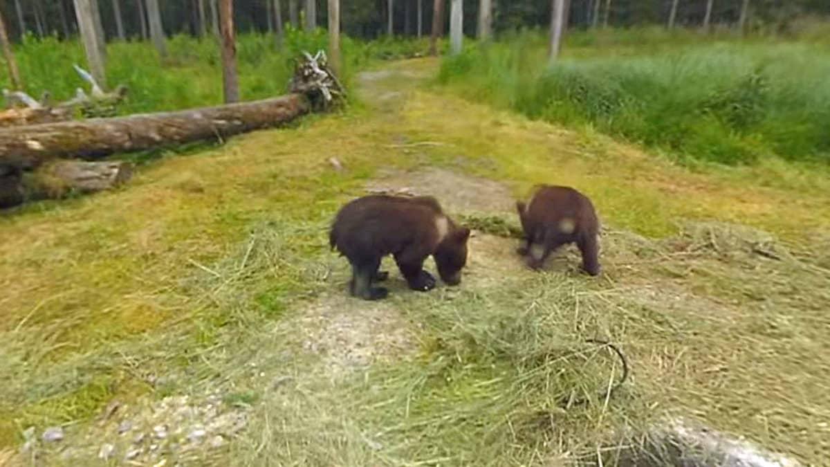 Karhunpentuja metsäisessä maastossa
