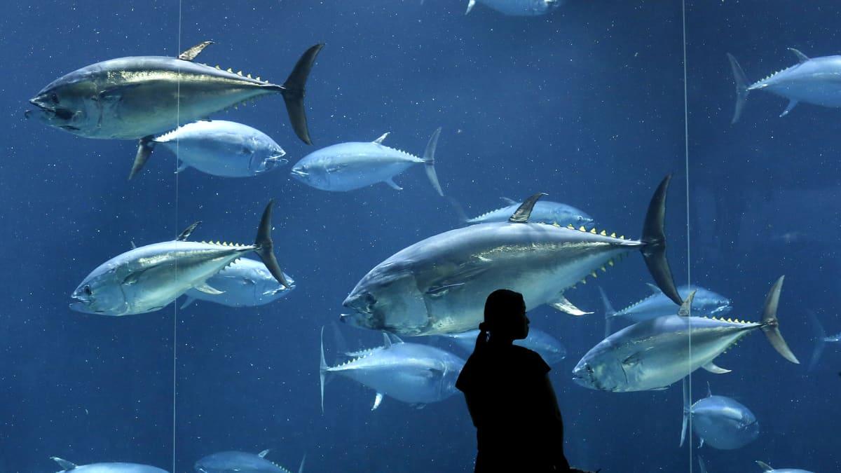 Sinievätonnikaloja akvaariossa Tokiossa.