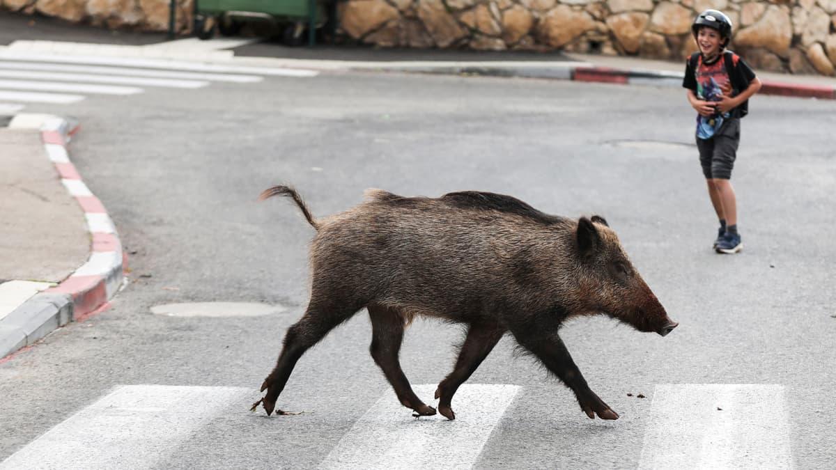 Villisika ylittää suojatietä Haifassa, Israelissa.