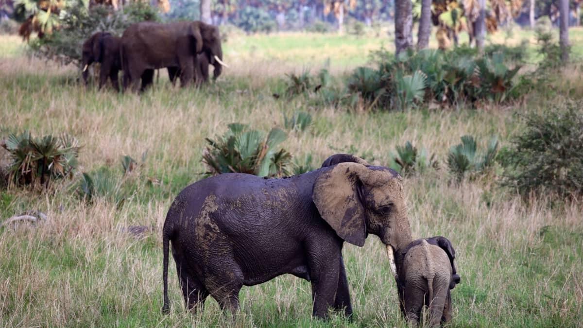 Murchison fallsin kansallispuisto on yksi Ugandan suosituimmista turistikophteista.