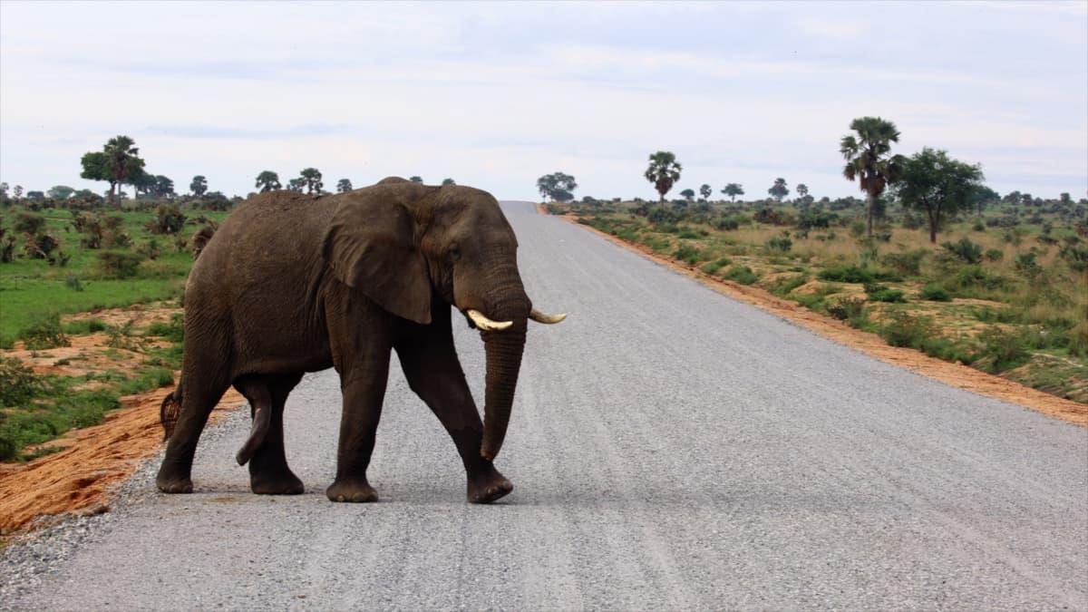Ympäristöjärjestöt ja -aktivistit pelkäävät, että putki tuhoaa korvaamattmia ekosysteemejä. Norsu käveli asfalttitien yli Murchison Fallsin kansallispuistossa.
