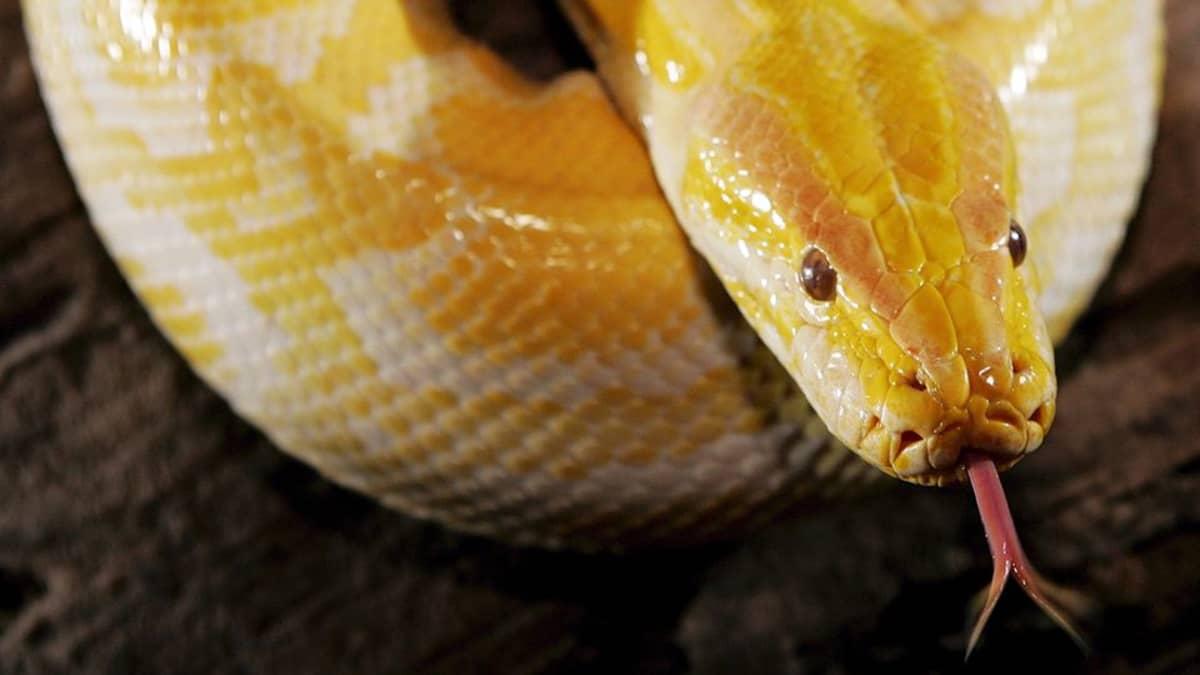 Albiino burmanpyton (Python molurus bivittatus) esillä matelijanäyttelyssä Kuala Lumpurissa maaliskuussa 2004.