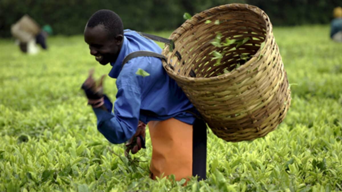 Teelehtiä kerätään teeviljelmällä Keniassa