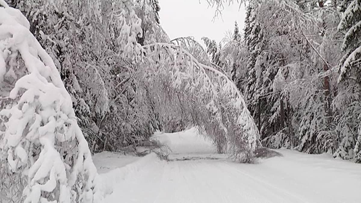 Luminen koivu kaartuneena tien päälle.
