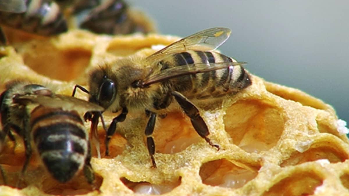 Mehiliäisiä.