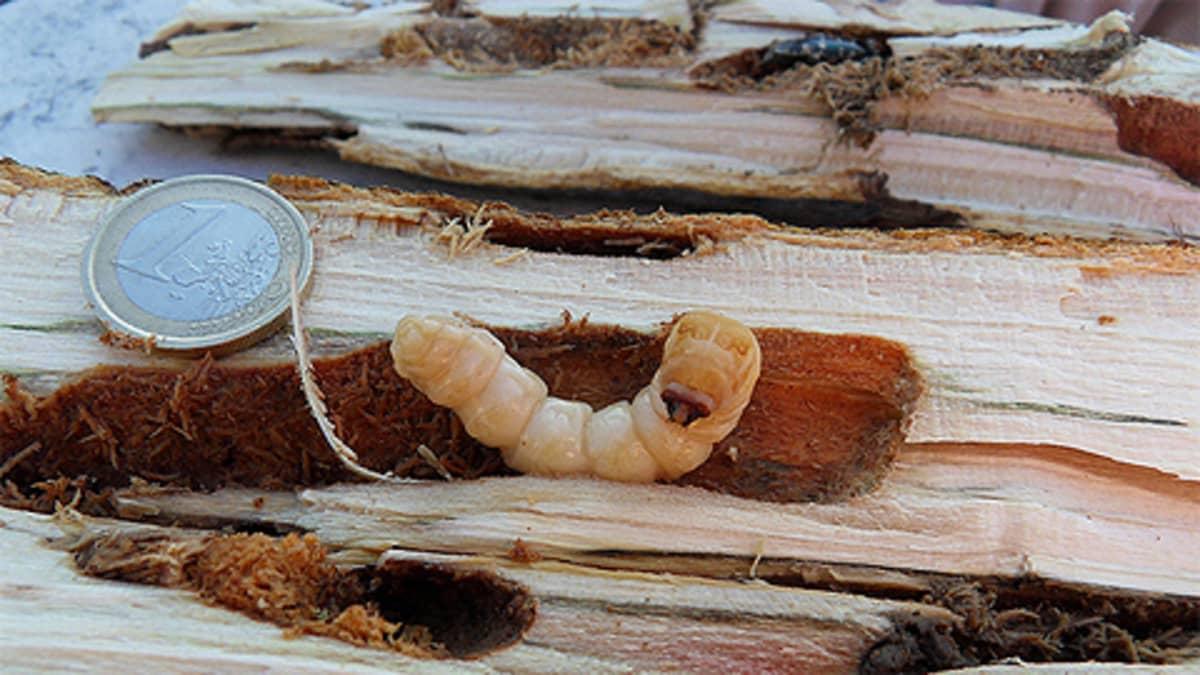 Aasianrunkojäärän (Anoplophora glabripennis) toukka,