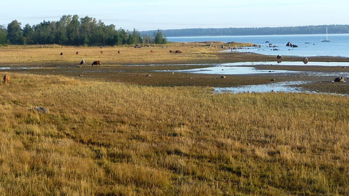 Kuvassa laiduntavaa karjaa Kokkolan Rummelössä.