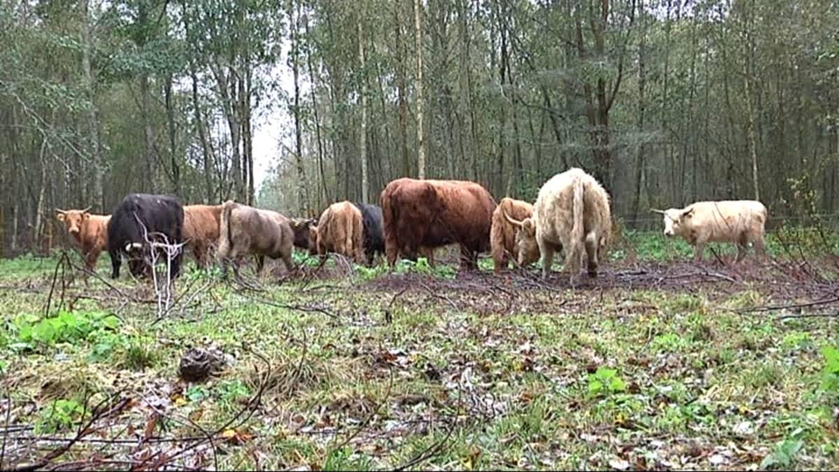 Ylämaankarja sopii hyvin laiduntamaan umpeen kasvanutta Bådavikenin aluetta.