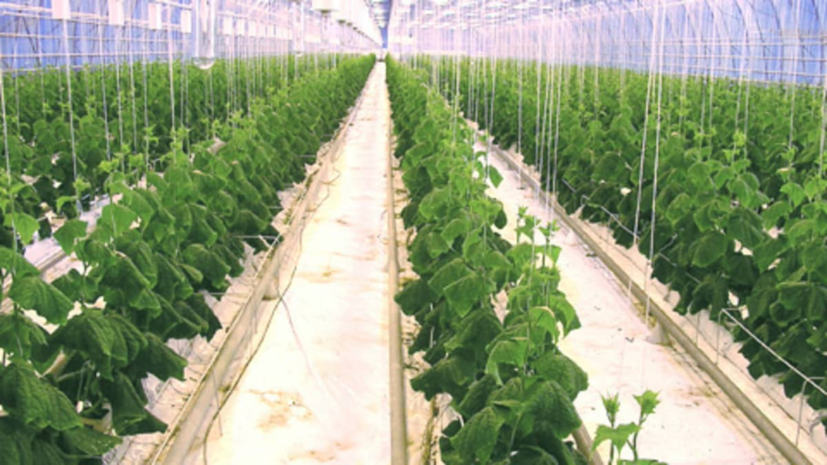 Tomaattia kasvamassa kasvihuoneessa.