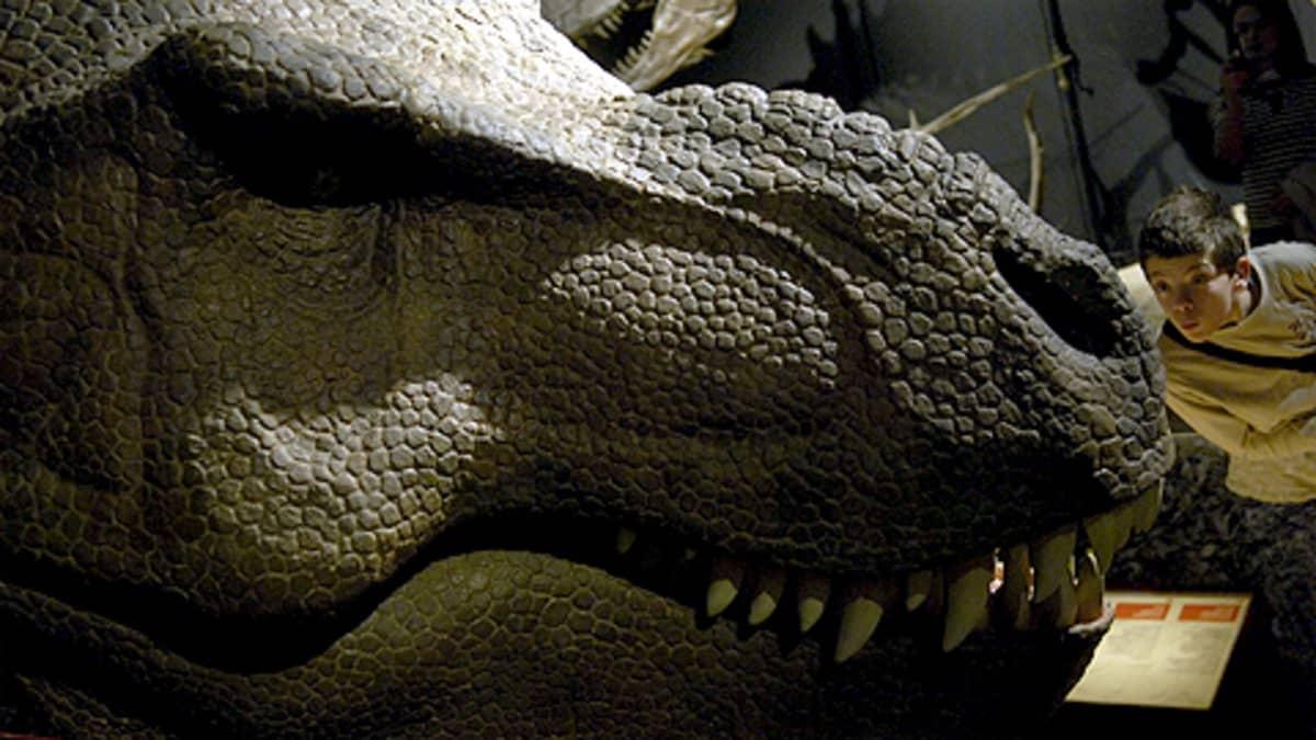 Lapsi katsoo jäljitelmää Tyrannosaurus Rexin päästä.