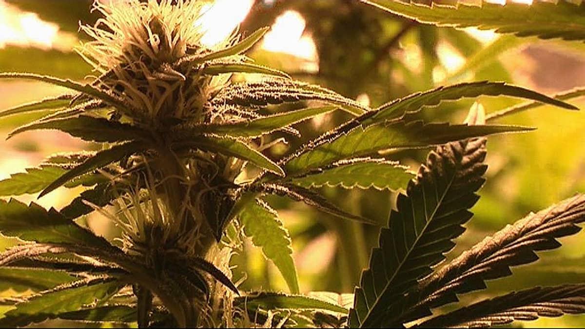 Kannabiskasvi.