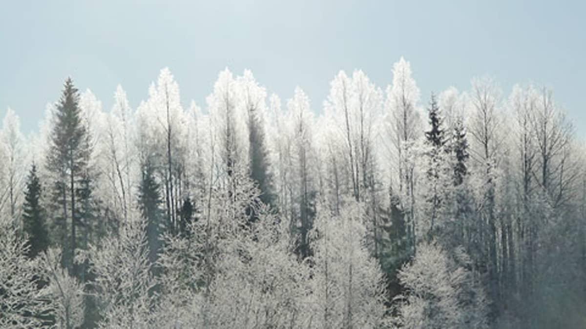 Kuuran peittämiä puita