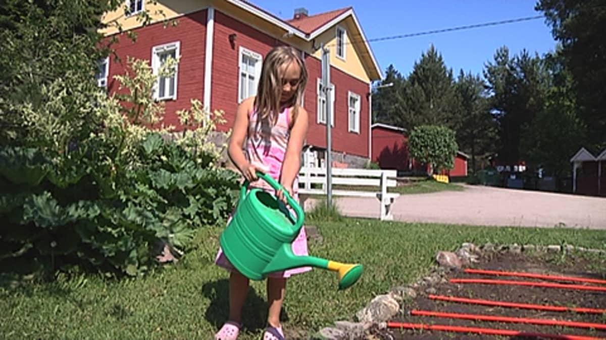 Tyttö kastelee kasvimaata koulun pihalla.