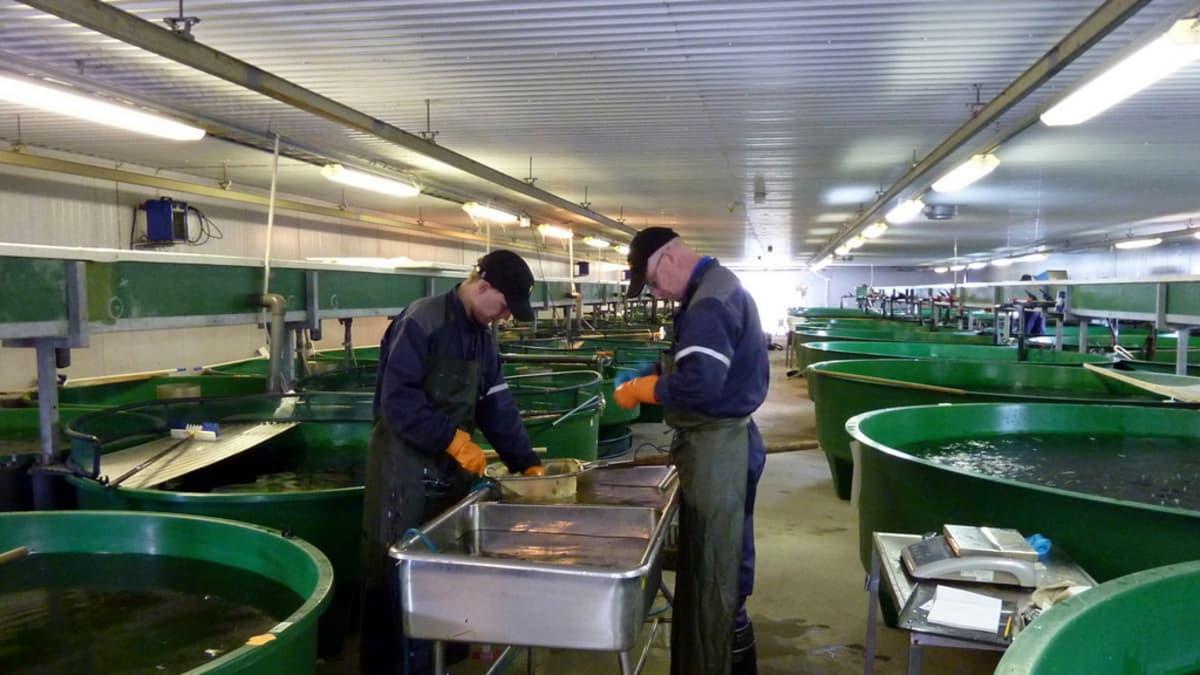 Kalanviljelylaitoksen työntekijät leikkaavat taimenten rasvaeviä.