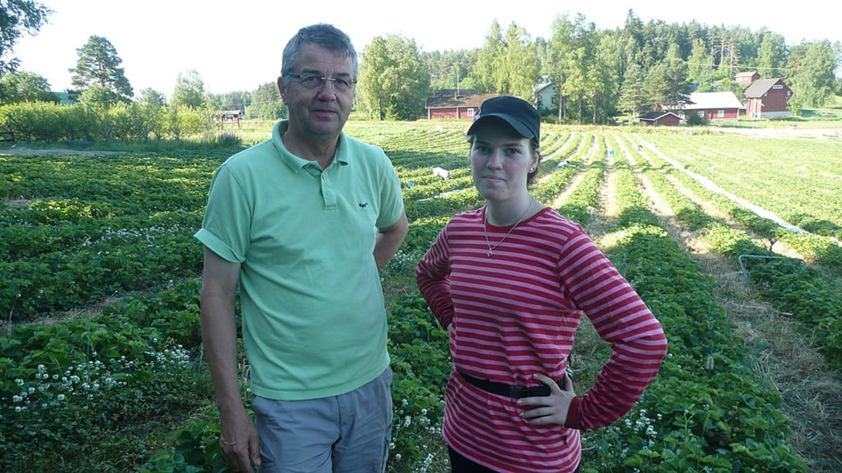Pekkalan mansikkatilalla kesän kiireisin viikko.