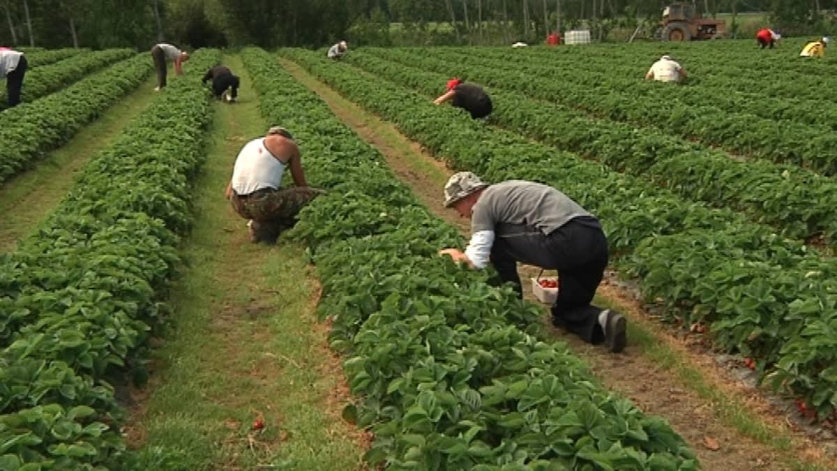Långin viljelmillä Närpiössä työskentelee sata mansikanpoimijaa.
