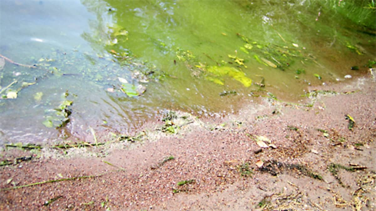 Sinilevää järvessä.