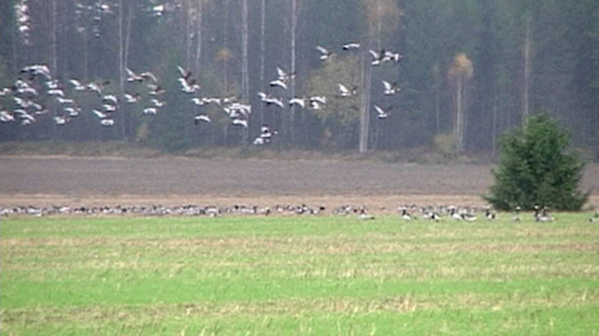 Hanhiparvia pellolla ja lentämässä.