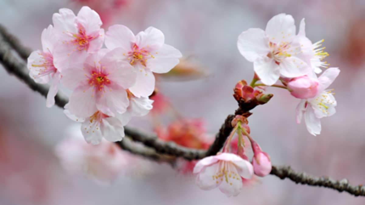 Kirsikan kukkia (Cherry Blossoms)
