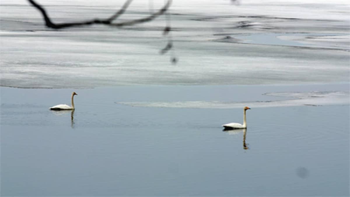 Joutsenpari ui osin sulaneella järvellä.