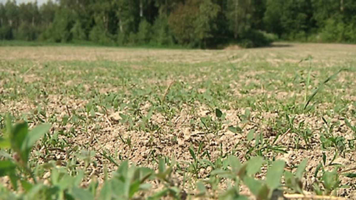 Kuvassa kuivuudesta kärsinyttä oraspeltoa