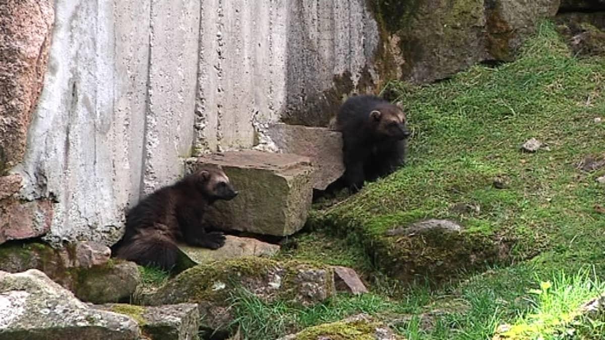 Kaksi ahman poikasta katselee aitauksessaan kiviseinän edustalla.