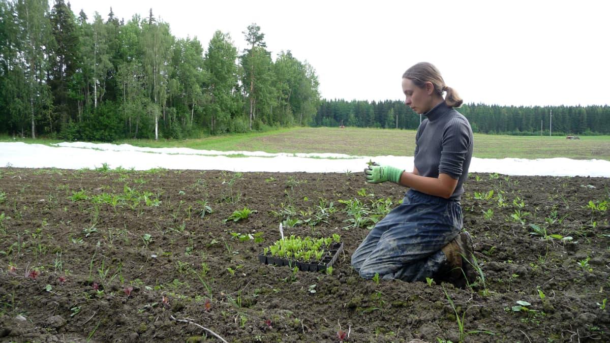 Puutarhuri Jonna Kumpulainen istuttaa taimia polvillaan peltoon