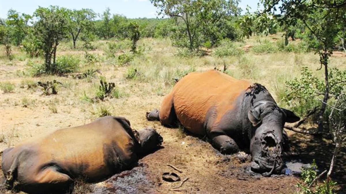 Salametsästyksen kohteeksi joutuneita sarvikuonoja Waterbergin alueella Etelä-Afrikassa vuonna 2010.
