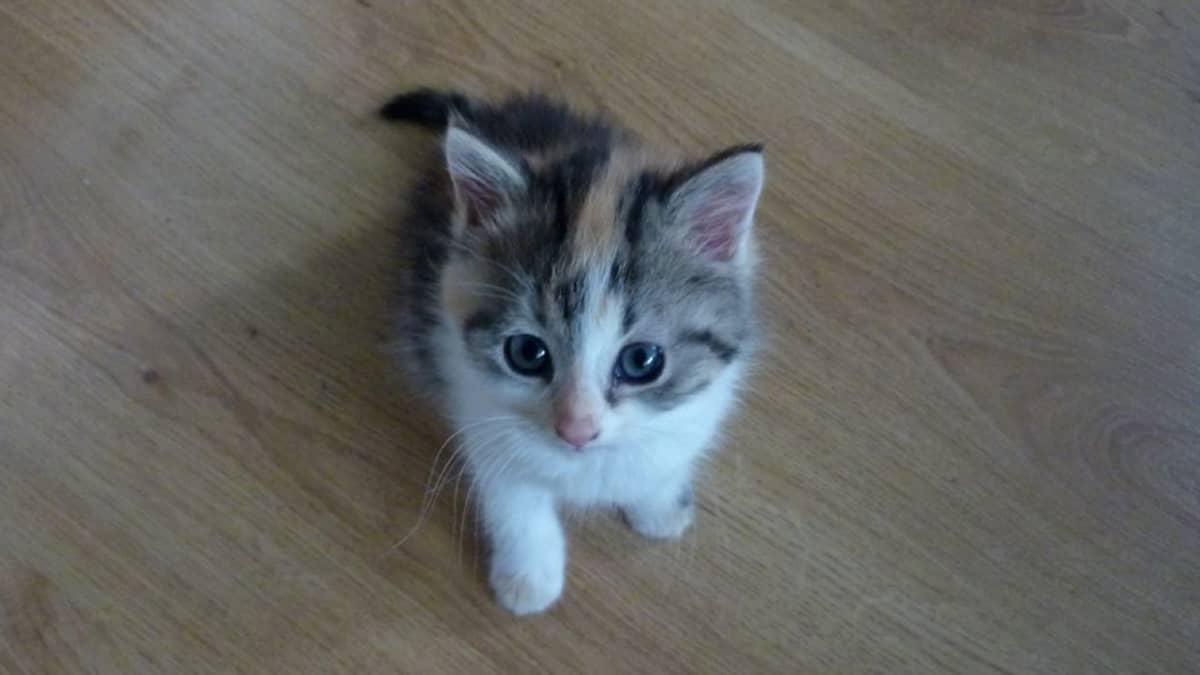 Vaalea kissanpentu.