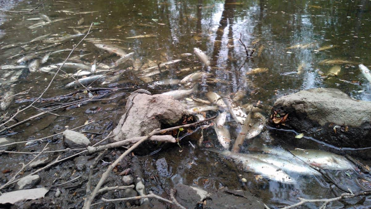 Kuolleita kaloja Mätäjoessa.
