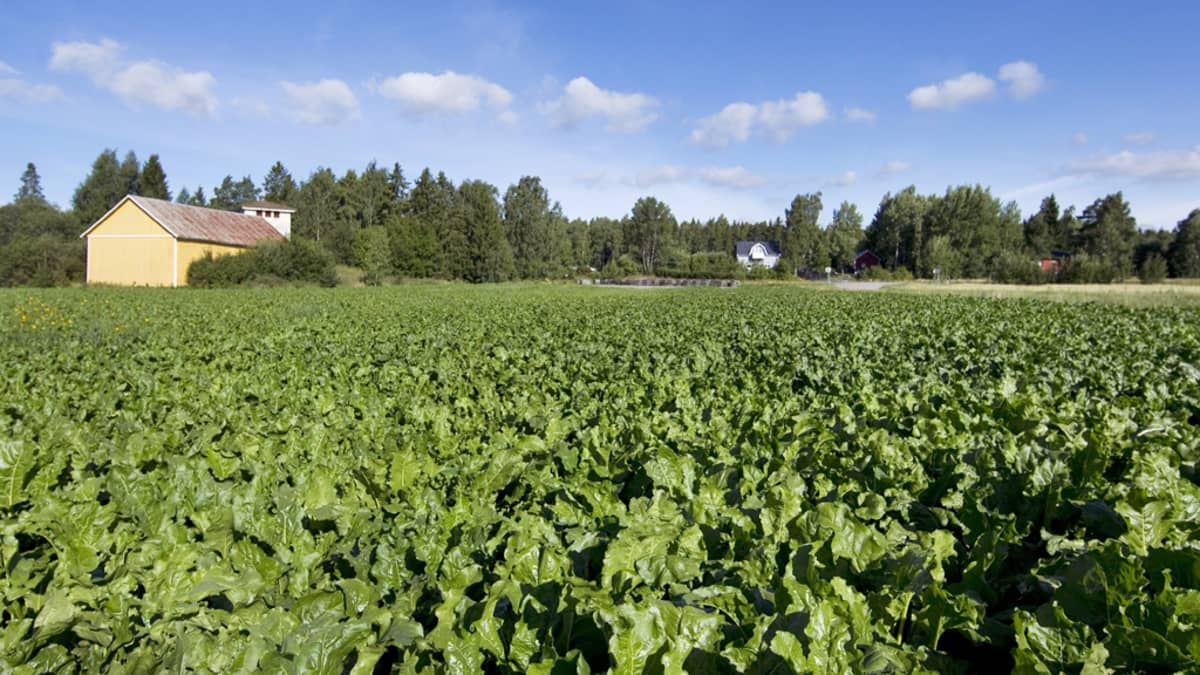 Sokerijuurikaspelto Mynämäellä.
