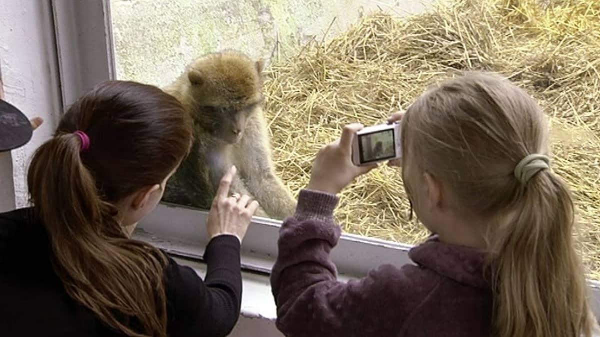 Ihmiset katselevat Korkeasaaren apinalinnan uusia asukkaita, berberiapinoita.