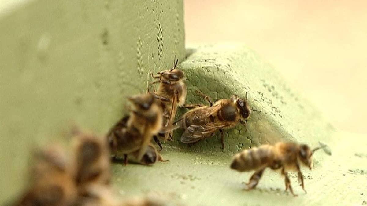 Mehiläisiä.