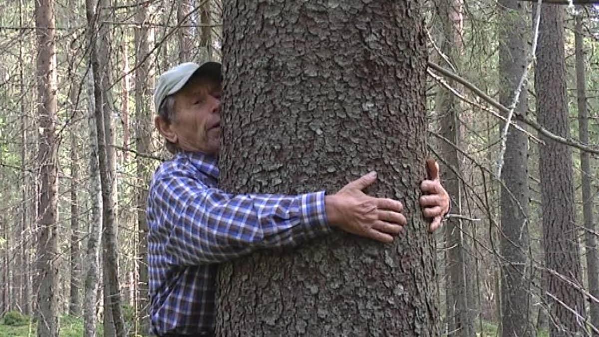 Pentti Linkola sylimittaa puuta.