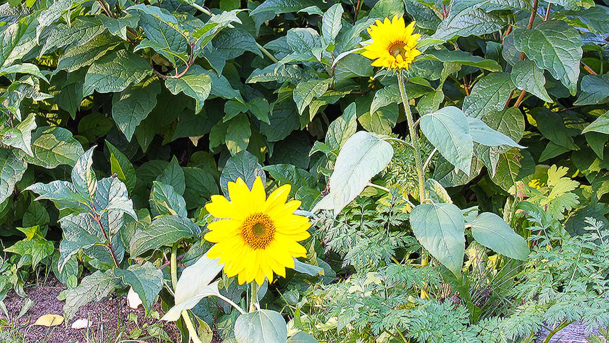 Auringonkukat kukkivat syyskuun lopussa
