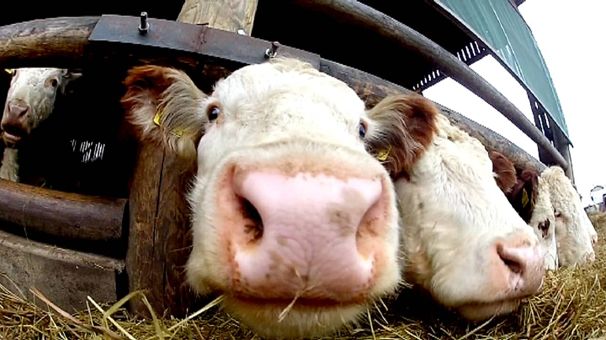 Lehmiä.