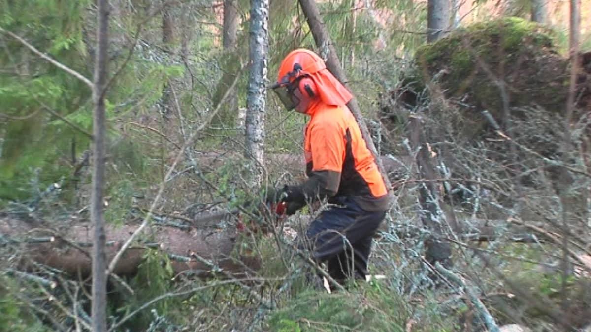Metsuri sahaa kaatunutta puuta.