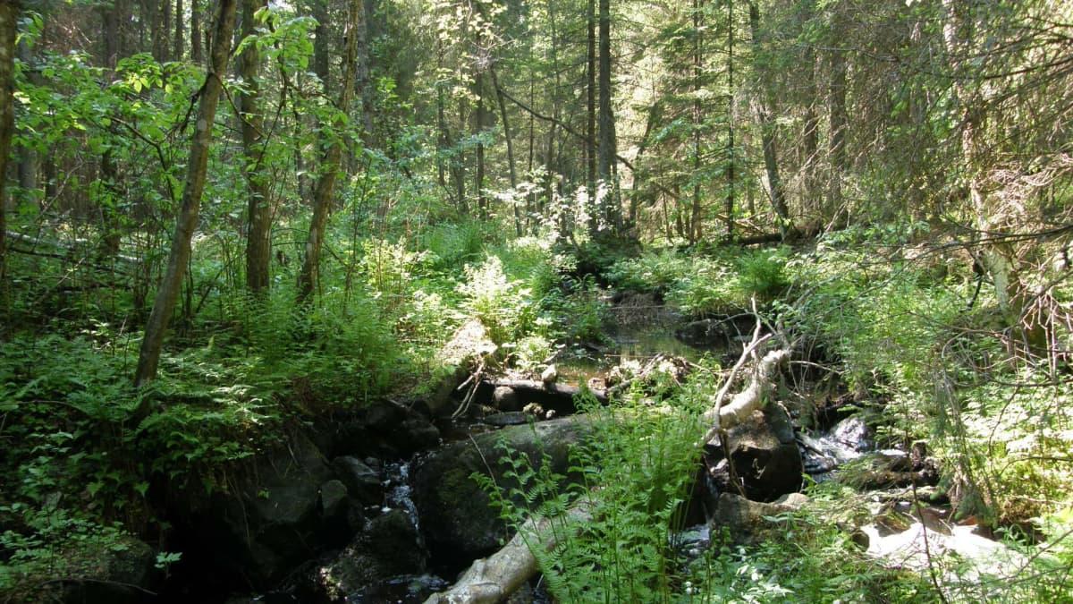 Vehreää ikimetsää, jonka puro halkoo.