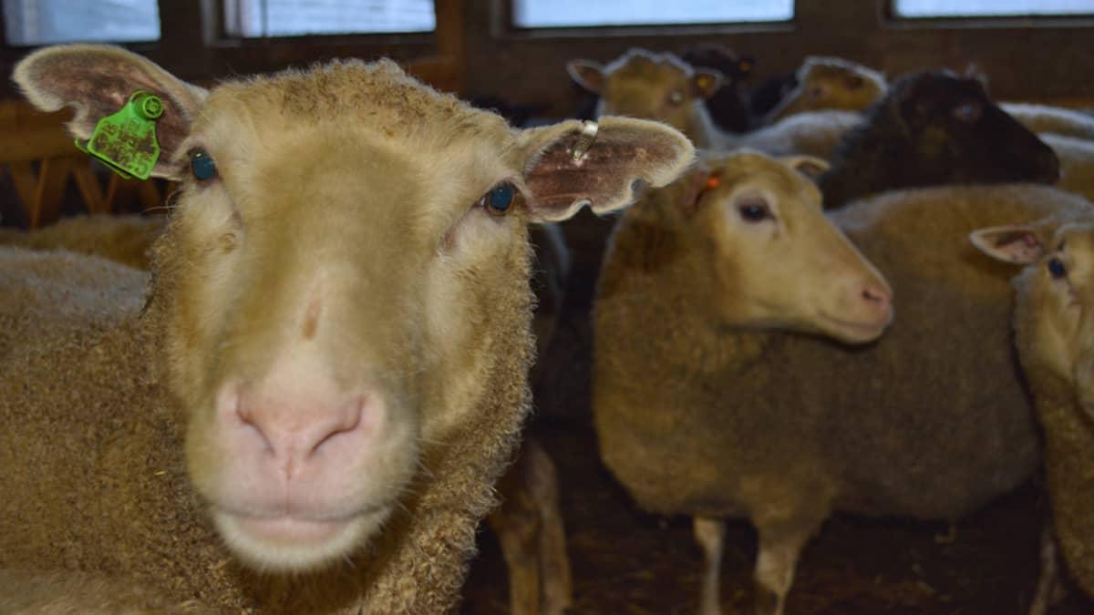 Korvamerkitty lammas tuijottaa kameraan.
