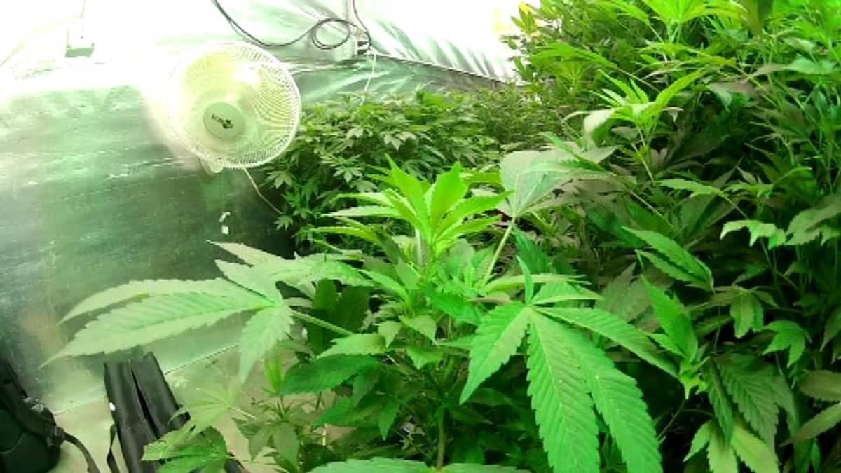 Kannabista kasvatetaan.