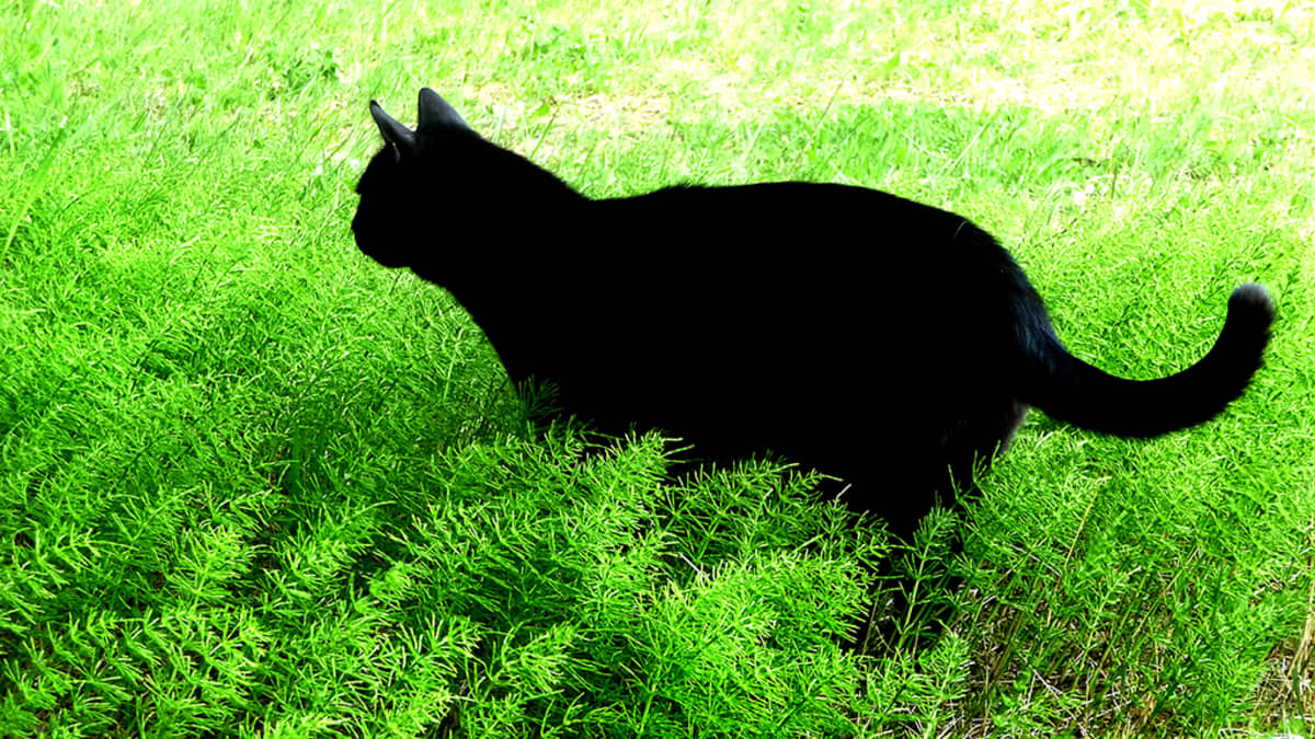 Kissa saalistaa.