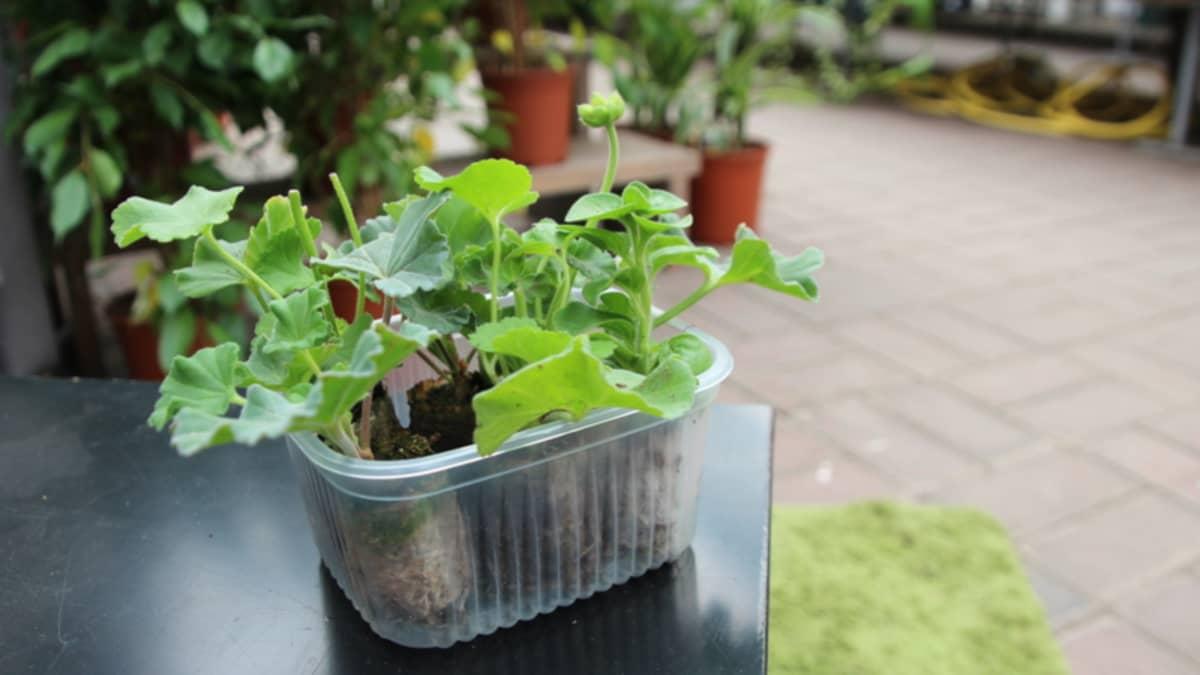 Pelargonian taimia.