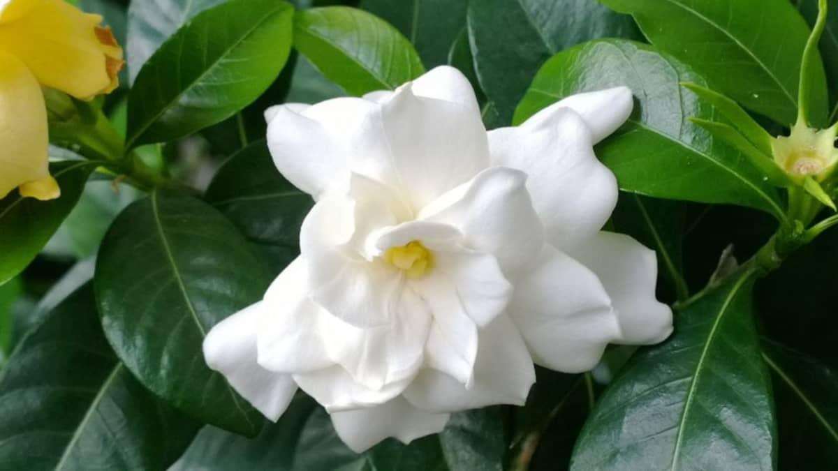 Gardenian kukka
